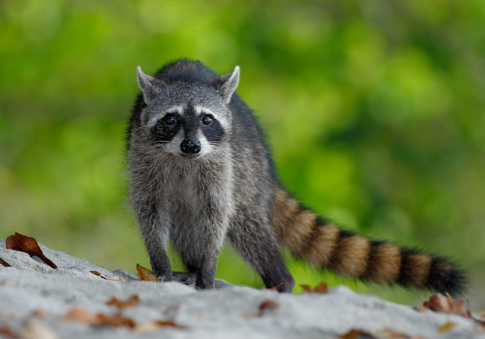 Raccoon,