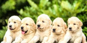 Picture of five golden retriever puppies posing for a picture