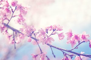spring sakura pink flower with sun sky vintage color toned abstract nature background