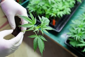 Medical cannabis or marijuana plant held by grower wearing gloves
